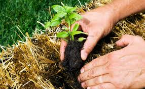 haybale planting